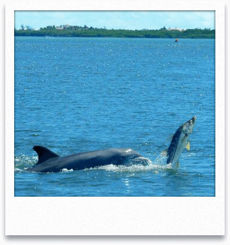 Dolphin and Snook